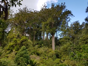 Kauri tree at the Waiau kauri grove